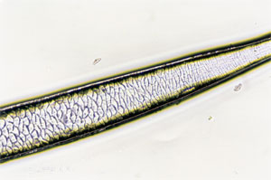 Figure 107 is a photomicrograph of a scale pattern of deer hair.