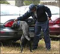 A military working dog trains at the  FBI Laboratory to detect volatile explosives.
