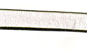 Figure 90. Photomicrograph of Distal-Scale Pattern (Mink)