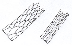 Figure 6 is a diagram of spinous scales.