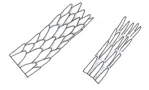 Figure 87 is a diagram of spinous scales.