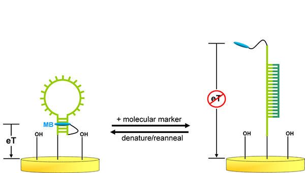 Figure 1 is a schematic depicting the E-DNA sensor, which comprises an immobilized stem-loop oligonucleotide possessing terminal thiol and redox (here methylene blue [MB]) groups.